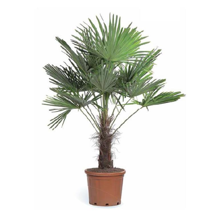 Palmier trachycarpus fortunei palmiers balcon et for Plante palmier