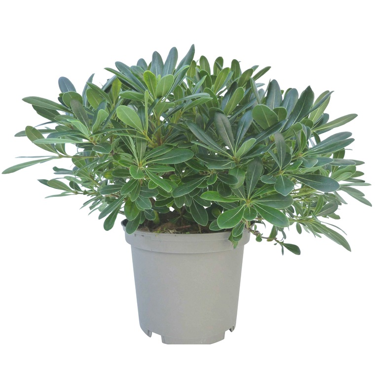 Pittosporum Tobira En Pot De 5 Litres Arbustes Pour Bacs