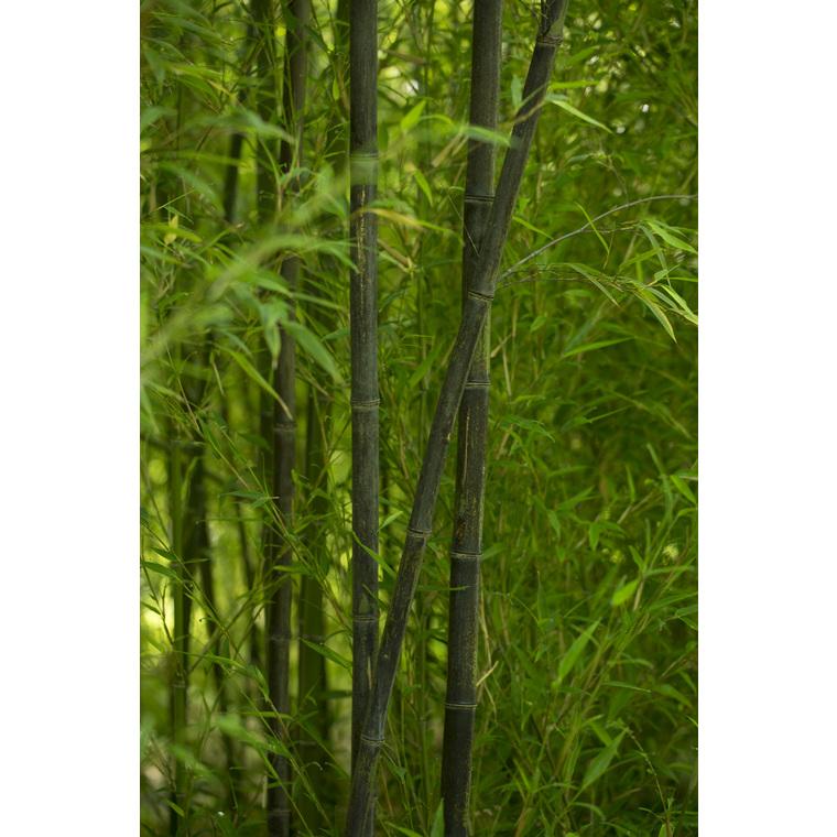 bambou phyllostachys nigra botanic. Black Bedroom Furniture Sets. Home Design Ideas