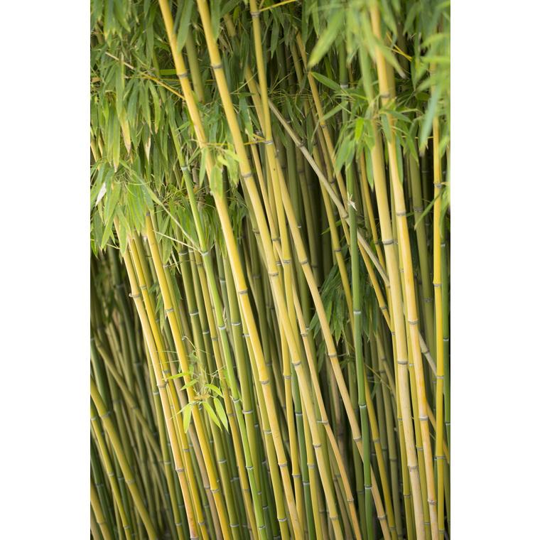 bambou phyllostachys humilis vert pot de 3l plantes nos. Black Bedroom Furniture Sets. Home Design Ideas
