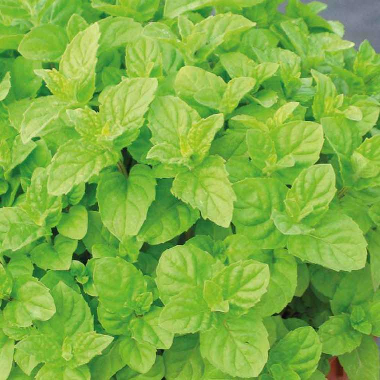 menthe verte le pot de 1 litre recycl plantes pour le potager nos produits botanic. Black Bedroom Furniture Sets. Home Design Ideas