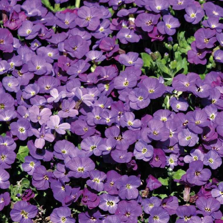 aubri te grosses fleurs violette pot de 9 cm x 9 cm plantes vivaces jardin botanic. Black Bedroom Furniture Sets. Home Design Ideas
