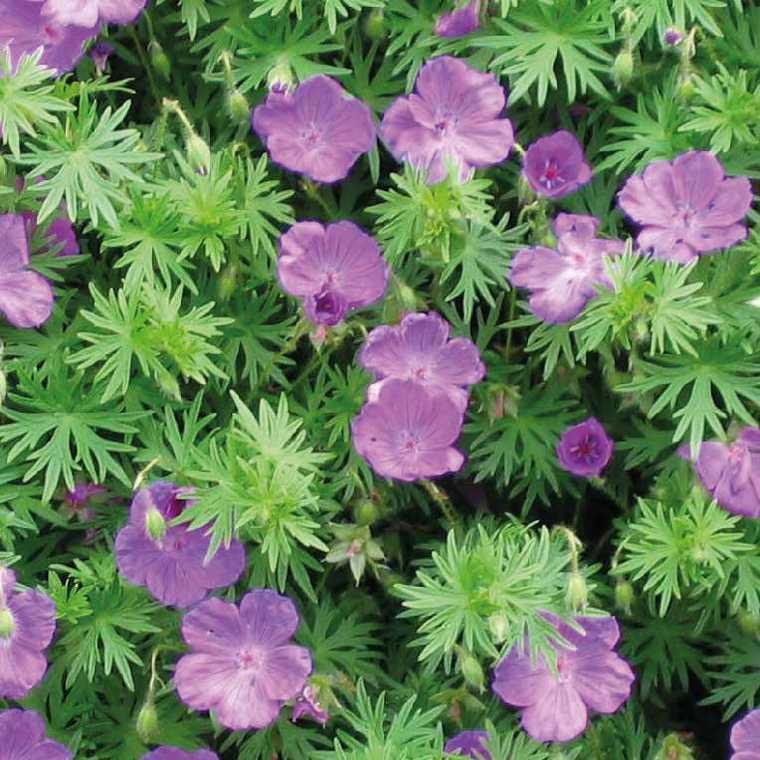 g ranium sanguin le pot de 9x9 cm plantes vivaces jardin botanic. Black Bedroom Furniture Sets. Home Design Ideas