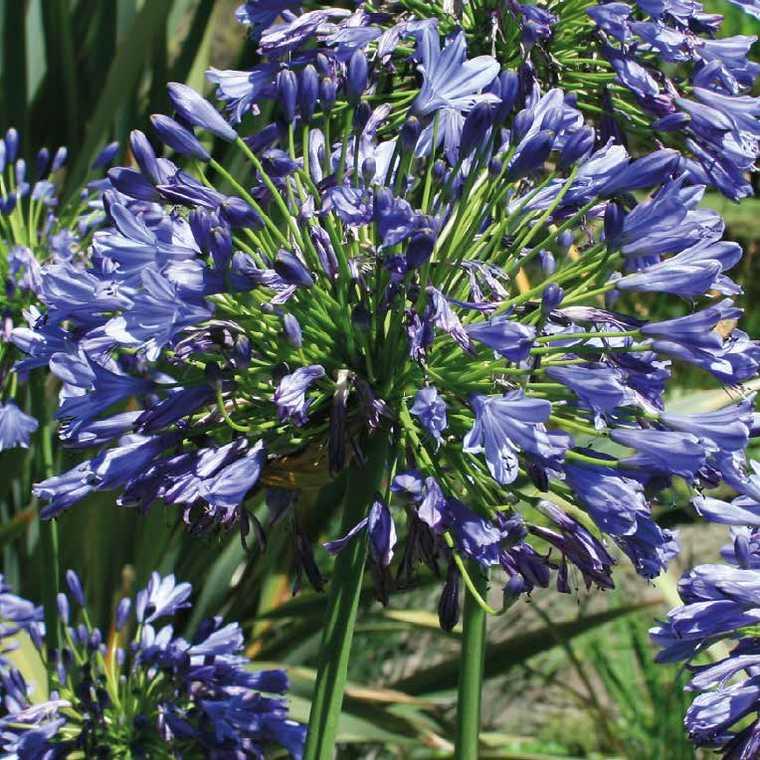 Agapanthe Bleue Le Pot De 9x9 Cm Plantes Nos Produits