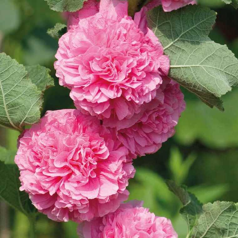 Rose Tremiere Rose Le Pot De 9x9 Cm Plantes Nos Produits Botanic