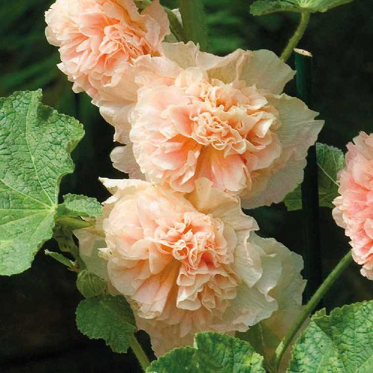 Rose Tremiere Saumon Le Pot De 9x9 Cm Plantes Nos Produits Botanic