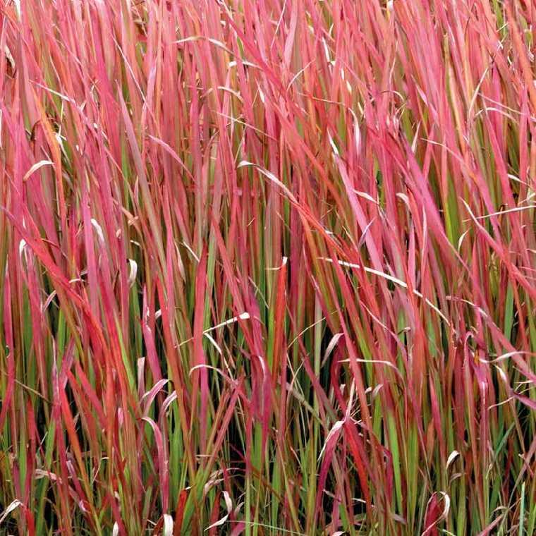 imperata cylindrica red baron pot de 9 cm x 9 cm plantes vivaces jardin botanic. Black Bedroom Furniture Sets. Home Design Ideas