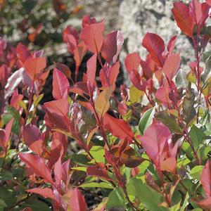 Photinia Red Robin en pot de 3 litres 100206