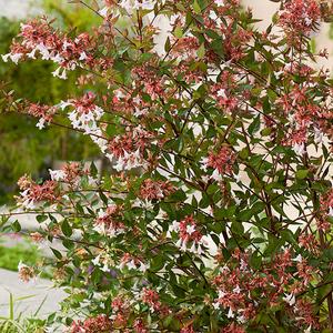 Abelia Grandiflora 100500