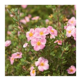 Potentille Pink Paradise - pot 5 L 101374