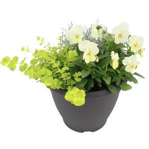 Plantes vivaces variées multicolores en pot de 3 L 101562