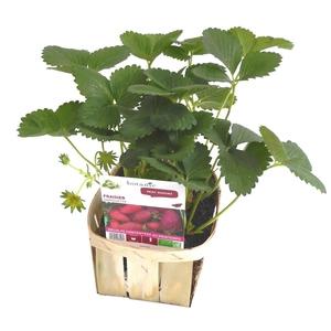 Fraisier Gariguette Non Remontant bio. La barquette de 6 plants 101870