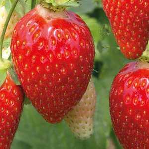 Fraisier Ciflorette Non Remontant bio. La barquette de 6 plants 101872