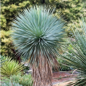 Yucca Rostrata - pot 10 L 102101
