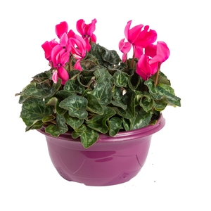 Mini Cyclamen. La coupe de 25 cm 102118