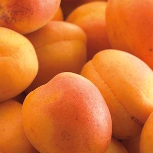 Abricotier Doucoeur® Anderheart racines nues 102388