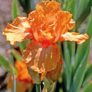 Iris Real Delight. Le pot de 9x9 cm 102500