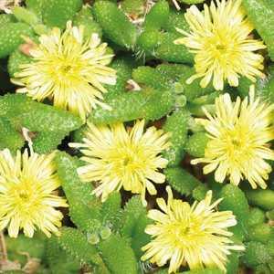 Delosperma Echinatum. Le pot de 9x9 cm 102568