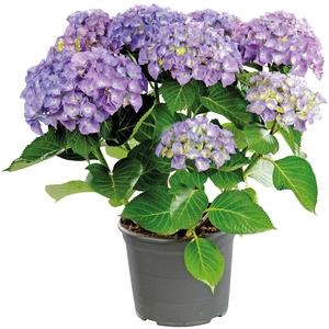 Hortensia à grandes fleurs en pot de 10 litres 102781