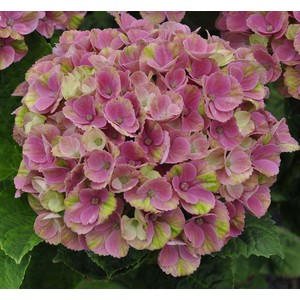 Hortensia à grandes fleurs Magical en pot de 5 litres 102782