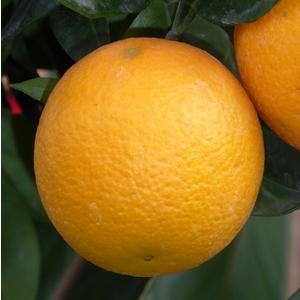 Oranger 25/30 en conteneur de 110 L 102891