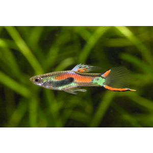 Guppy endleri pink élevage 103139