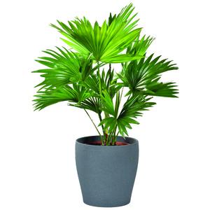 Livistonia Rotundifolia et cache-pot 104515