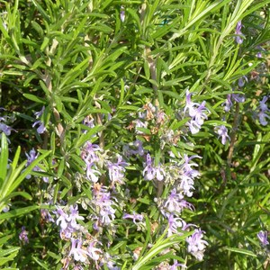 Rosmarinus Officinalis Did ou Romarin Touffe bleu en pot de 2 L 106107