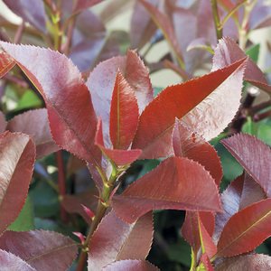 Photinia (PHOTINIA FRASERI RED SELECT) 106769