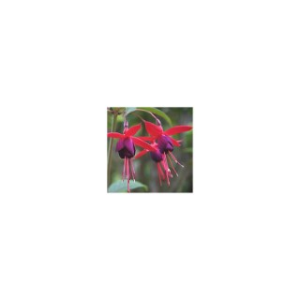 Fuchsia Lady Boothby. Le pot de 4 litres 160881