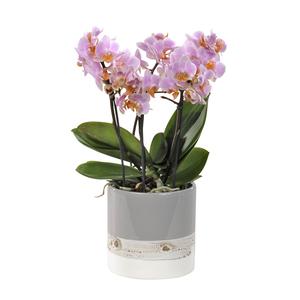 Orchidée Phalaenopsis boquetto. Le pot de 12 cm 108043