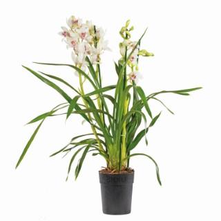 a la d couverte de l 39 orchid e cymbidium floraison d 39 hiver et charme d 39 asie botanic. Black Bedroom Furniture Sets. Home Design Ideas