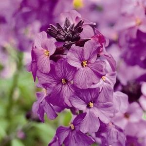 Erysimum Poem Lilac. Le pot de 1 litre 108877