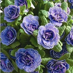 Primula belarina améthyste bleue en pot de 1 L 108898