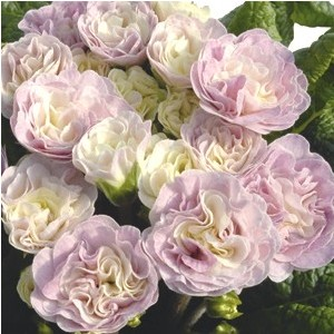 Primula belarina pink champagne rose en pot de 1 L 108899