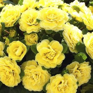 Primula belarina buttercup jaune en pot de 1 L 108900