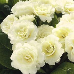 Primula belarina cream jaune en pot de 1 L 108902