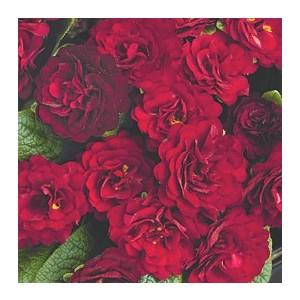 Primula belarina valentine rouge en pot de 1 L 108904