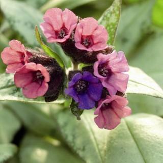 Pulmonaria sylver bouquet en pot de 1 L 108907