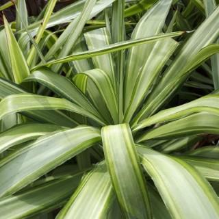 Yucca Jewel ramifié en pot de 15 L 110554
