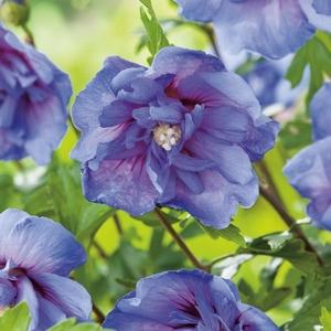 Althéa Blue Chiffon - pot 5 L 111224