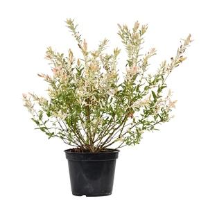 Salix Integra Hakuro Nishiki 1/2 tige - Pot de 5L 113078