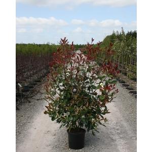Photinia Fraseri Red Robin Extra 100/125 cm en pot de 15 L 113146
