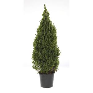 Picea glauca conica 113149