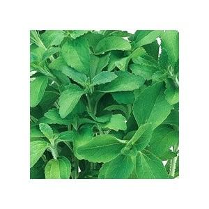 Stévia vert biologique en pot de 1 L Ø 13-15 113561