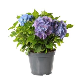 Hortensia Hydrangea Endless Summer bleu en pot de 5 L 114639