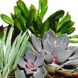Plantes grasses variées multicolores en pot de 9 x 9 cm 102899