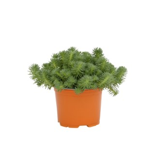 Sédum anopetalum green ball en pot de 1 L 116313