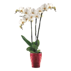 Orchidée Phalaenopsis 3 br + cache pot. Pot 15 cm 117187