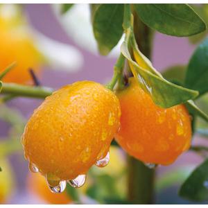 Kumquat 1/4 de tige 117256